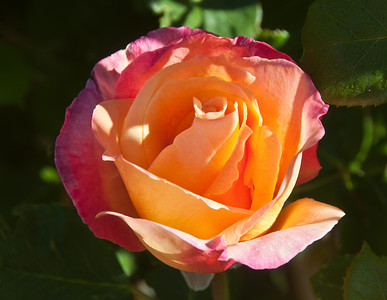bright-orange-rose
