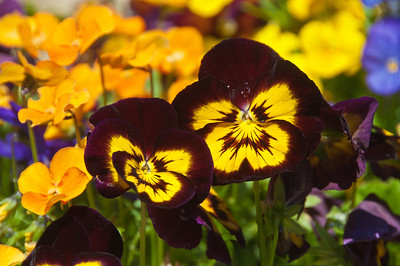 burgundy-yellow-pansies