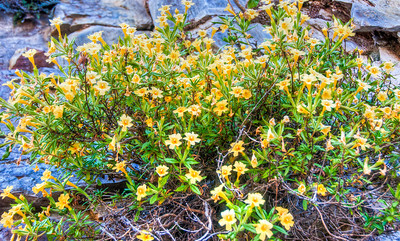 yellow-mountain-flowers
