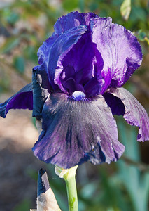 deep-purple-iris