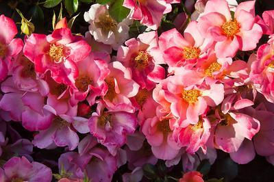pink-petalled-rose