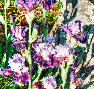purple-iris-rock