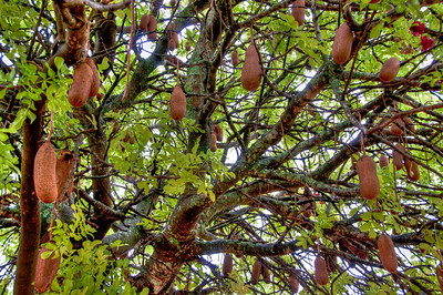 african-tree-fruit-2-1