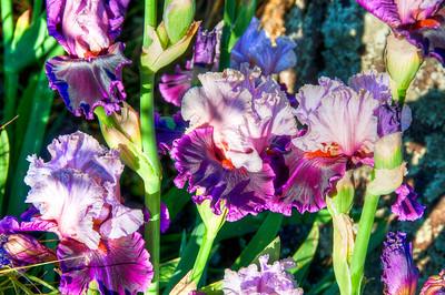 lilac-iris