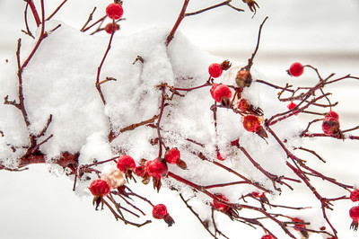 frozen-rose-hips
