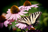 Cone Flower and Butterfly