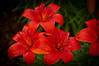 Daylilies,