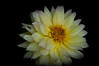 A white Dahlia with a hint of yellow.