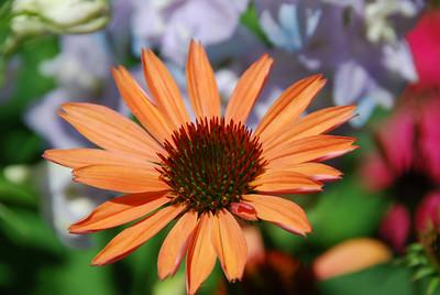 """Echinacea """"Sunset"""""""