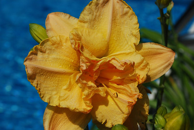 """Luxury Madness"" Day Lily"