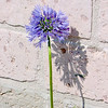 A blue allium we planted where water will run off the roof. They will spread, we hope.