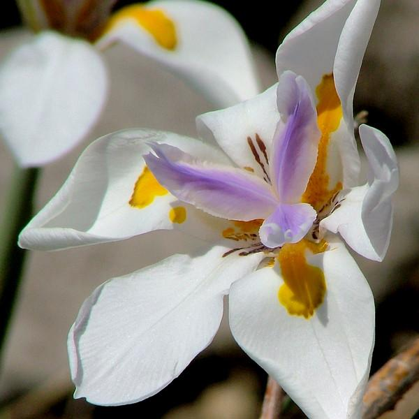 The African iris is tough and drought tolerant. We water it and it sends up 20 blossoms, but they are good for only a few days. They are so lovely, and a photo preserves the beauty.