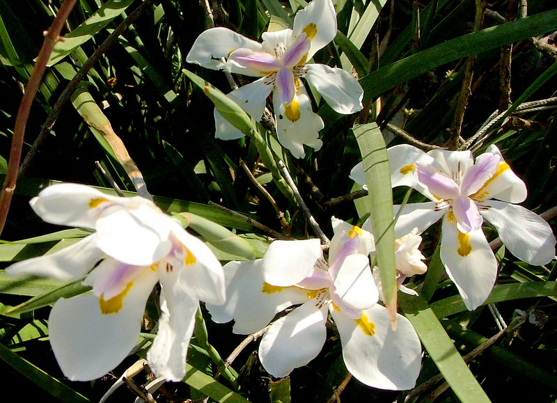 More African iris. Blowing in the breeze.