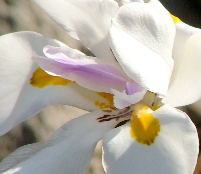 A closer look at the African iris.