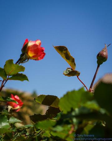 Tony's roses2014