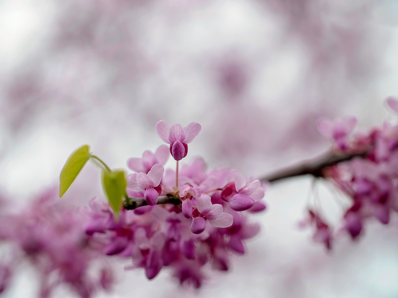 Fairy Blossoms