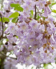 Lavender Royal Paulownia (Princess tree, Foxglove tree), native to central and western China
