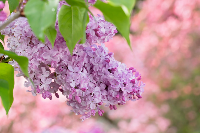Full-on Lilac