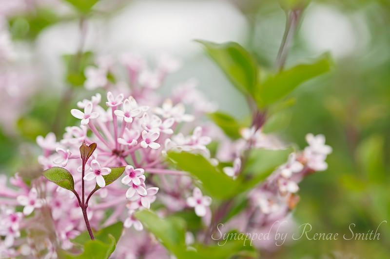 Pique Blossoms