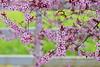 Cherry Breeze