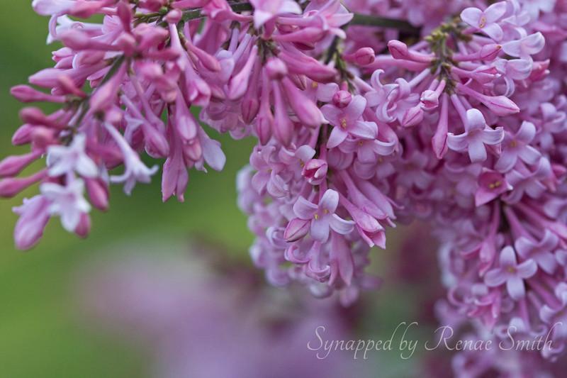 When the Lilacs Drop Their Curtain...