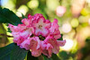 Rhodie Brilliance