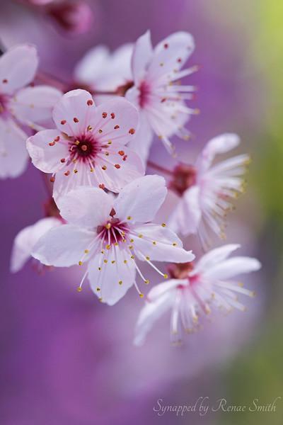Lavender Homespun