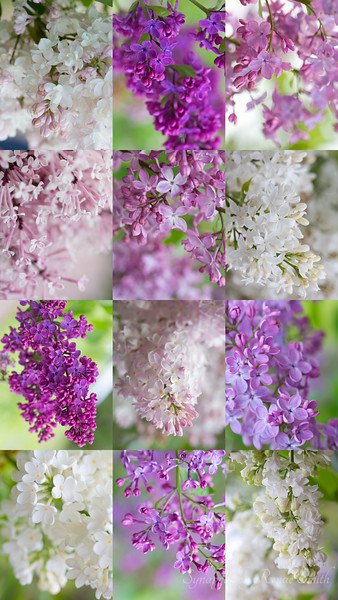 12-Pack o' Lilacs