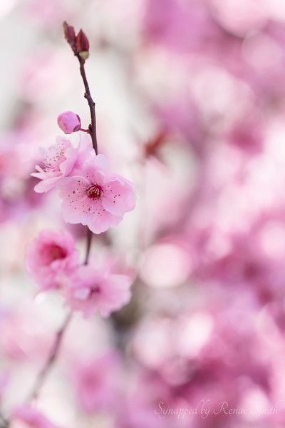Tenderly Pink