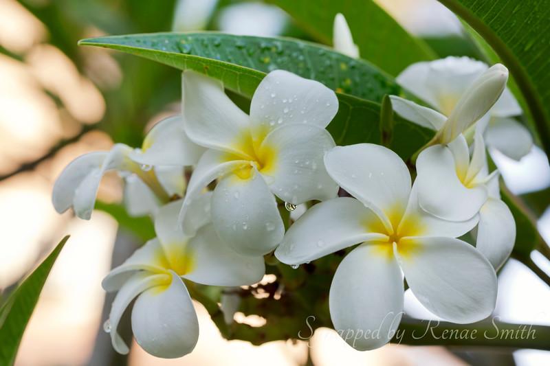 Plumeria Raindrops