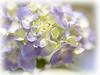 Hydrangea closeup