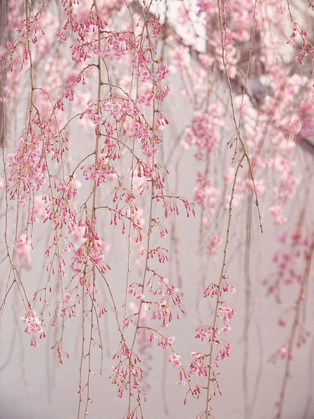 Drizzling Blossoms
