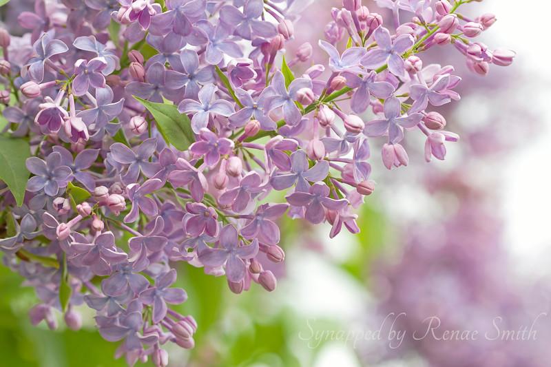Lavender's Sweet Descent