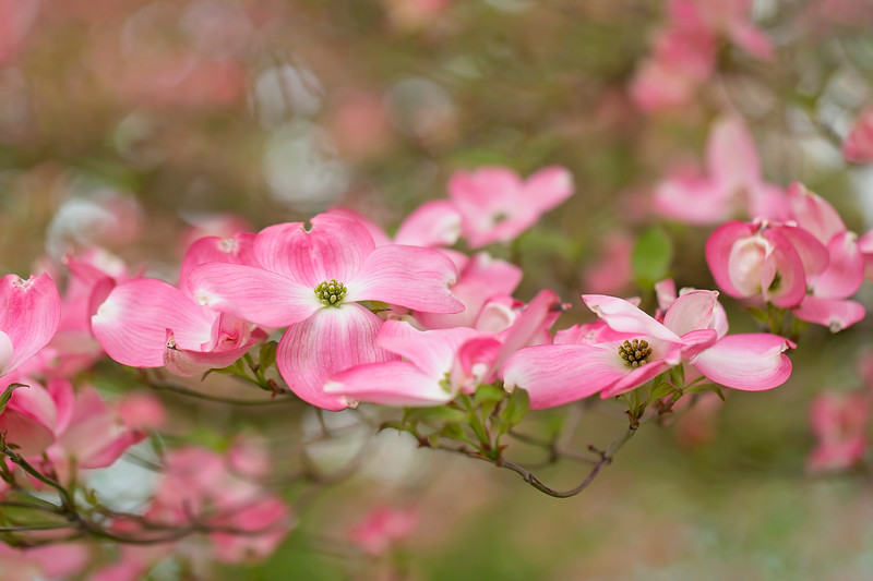 Dogwood Therapy