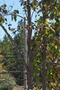 Persimmon Tree-K25-20101009-3