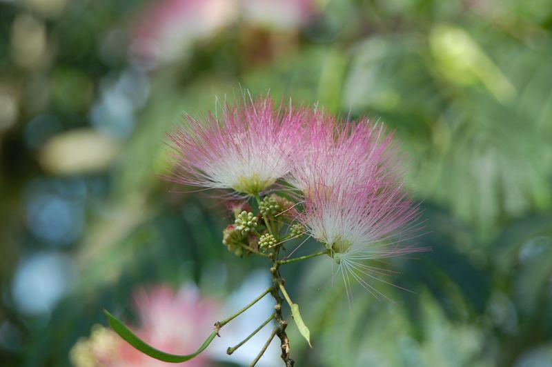 flower of mimosa tree