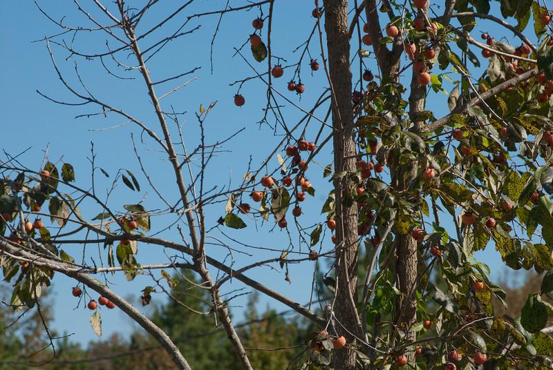 Persimmon Tree-K25-20101009-10