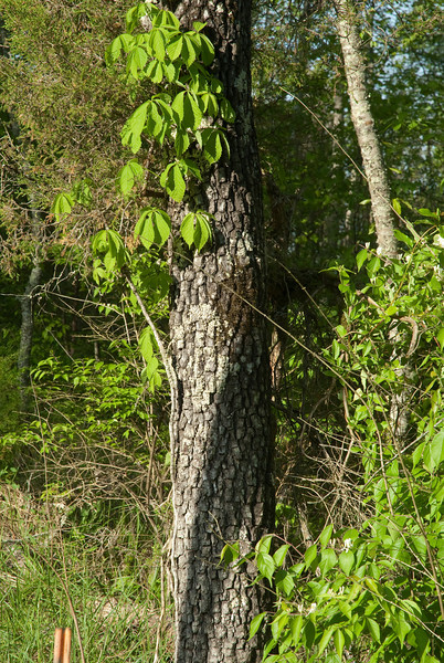 Bark of persimmon tree.