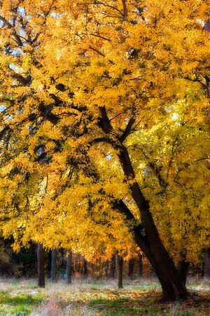 Beautiful, bright yellow, American Basswood tree (Tilia americana).  This tree is located in the Cuyahoga Valley National Park in Ohio.  This tree is in the linden family.  An artistic glow has been added to this  image.