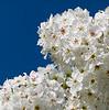 California Laurel in bloom
