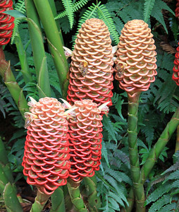 Honeycomb Ginger flowers