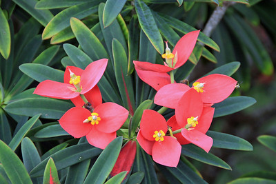 Flame of Jamaica flowers.
