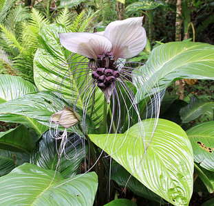 A Malaysian White Bat Flower growing near Anini Stream in the Princeville Botanical Garden on Kauai.