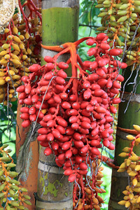 Colorful palm berries in the Princeville Botanical Gardens.