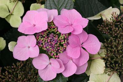 Bigleaf Hydrangea, 'Tokyo Delight', Longwood Gardens , Kennett Square, PA