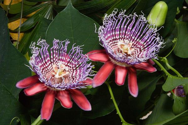 Lady Palm, Arecaceae Rhapis excelsa - Native to Southern China, United States Botanic Garden, Washington, DC.