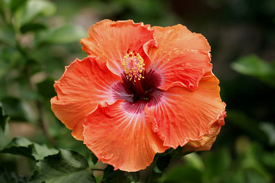 Orange Hibiscus, Longwood Gardens , Kennett Square, PA