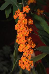 Plume, Euphorbia fulgens