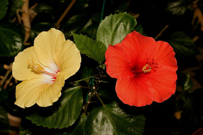 Yellow & Red Hibiscus (On same stem).