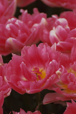 2005.05.01 Tulip Fest